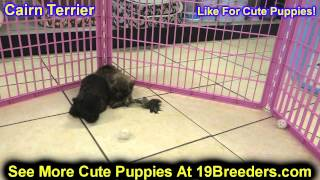 Cairn Terrier, Puppies, For, Sale, In, Edmond, Oklahoma, Ok, Cleveland, Comanche, Canadian, Rogers,