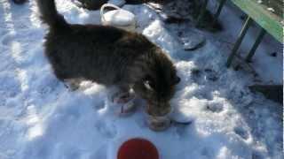 Дачные коты едят икру