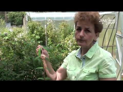 """Как размножить жимолость. Сайт """"Садовый мир"""""""