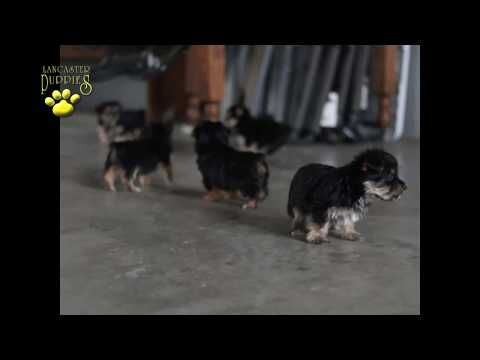 Yorkshire Terrier Mix Puppies