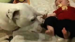 Американский бульдог атакует  ребенка поцелуями