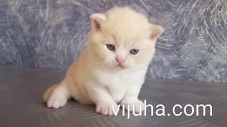 Британский кремовый с белым котик