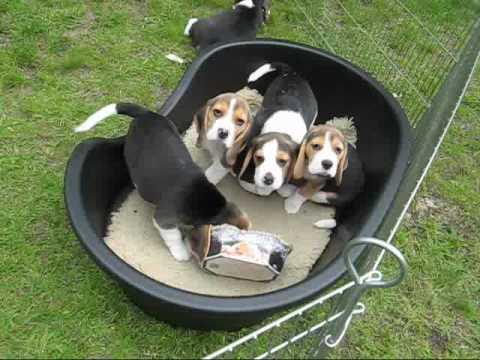 Beagle szczeniaki - miot U