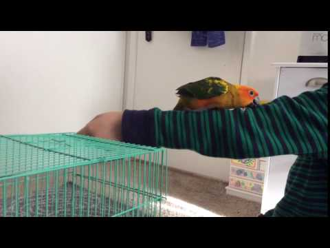 Sun Conure Parrot Climbing up my Arm