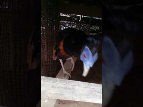 Ayam hutan langka ditemukan