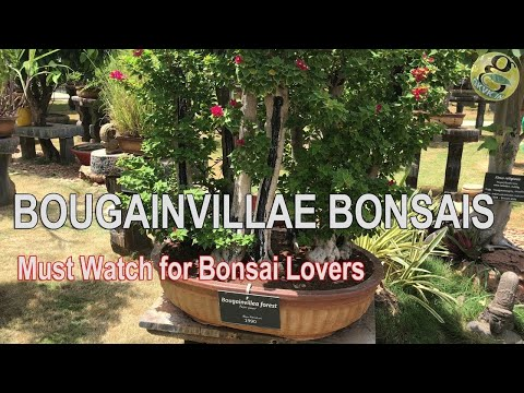 Beautiful Bougainvillae Bonsai Species Collection at Bonsai Garden India Mysore