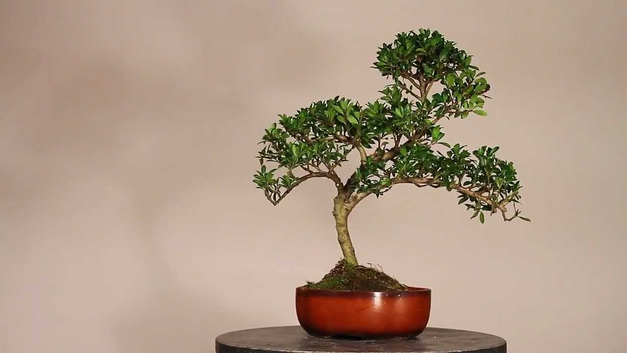 paris bonsai ilex youtube. Black Bedroom Furniture Sets. Home Design Ideas