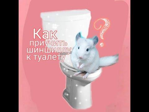 Как приучить шиншиллу к туалету.