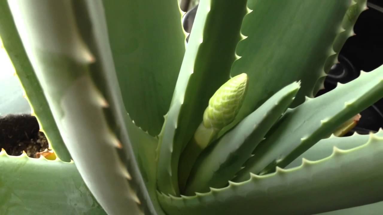 Aloe Vera Flower Bud Youtube