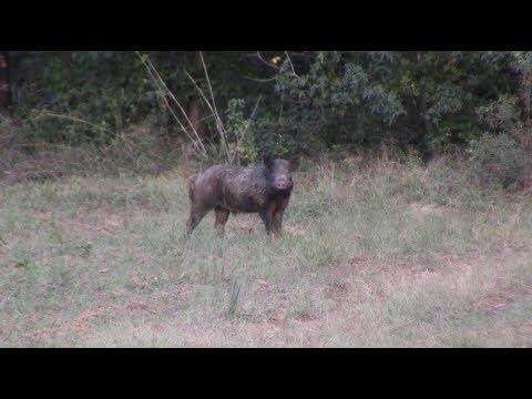 East Texas Hog Extermination