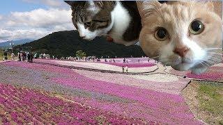 猫たちを留守番させて茶臼山柴桜まつりに行ってきました。南アルプスを...