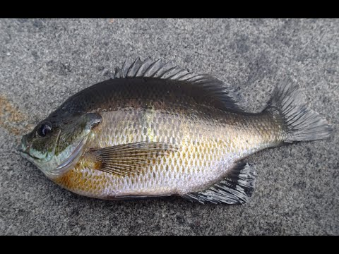 Day lake bass fishing giant blue gill youtube for Blue bass fish