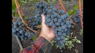 видео виноград для подмосковья