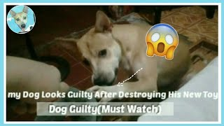 Dog Looks Guilty After Destroying New Toy!(Funny & Cute Reaction)GUILTY❤