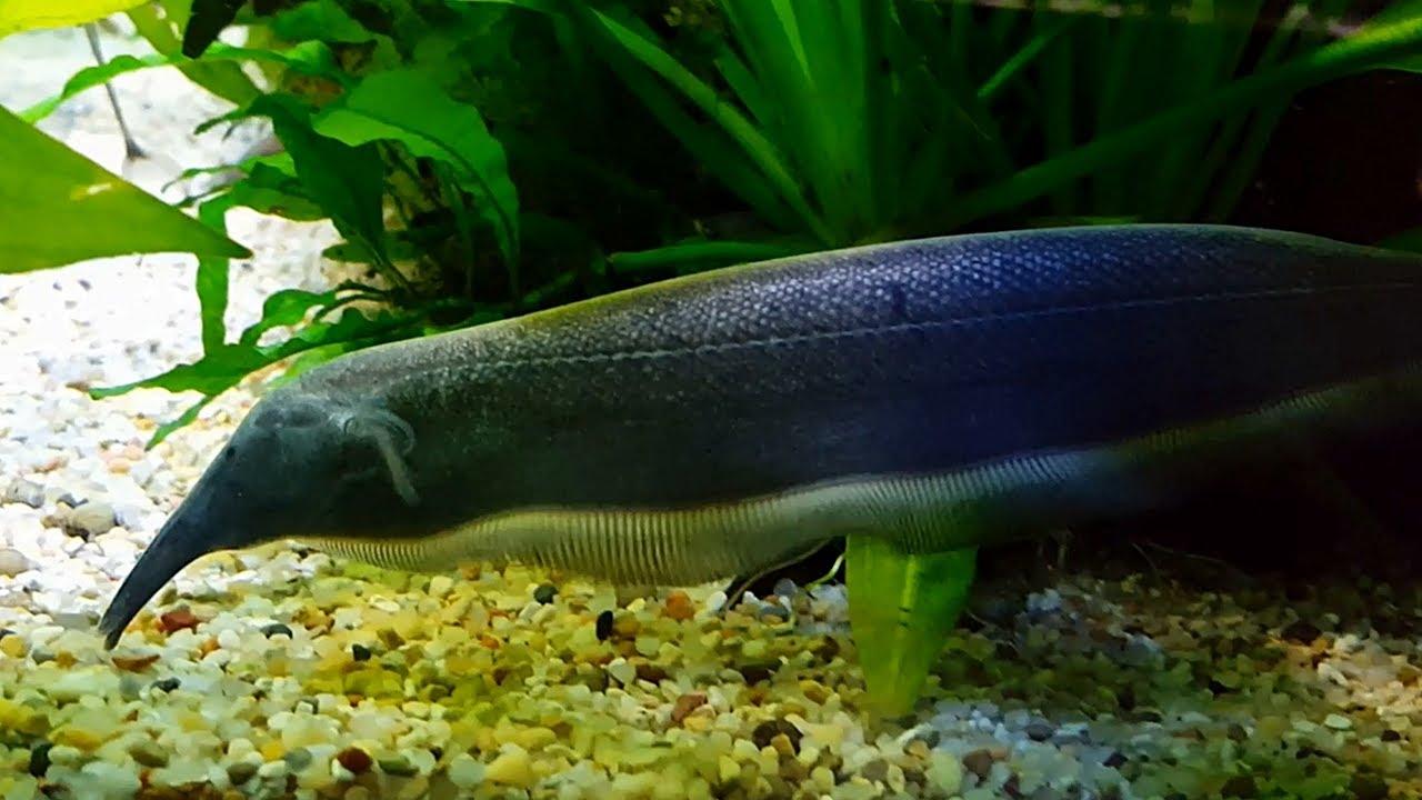 El pez cuchillo nariz de elefante de retzer for Cuchillo pescado