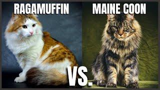 Ragamuffin Cat VS Maine Coon Cat