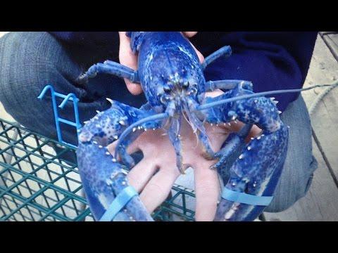 Sea hues: Rare Blue lobster caught off Cape Breton coast