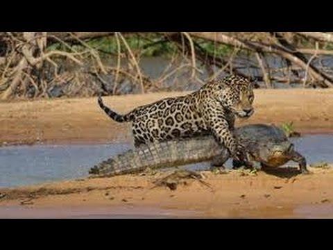 Leopard Hunting Crocodile   BBC Documentary Animals Plants   Wild Documentary National  Geographic