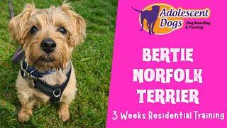 Bertie the Norfolk Terrier  3 Weeks Residential Dog Training