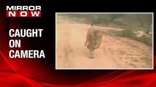 Karnataka: Lion chases tourist vehicle at Atal Bihari Vajpayee Zoological park