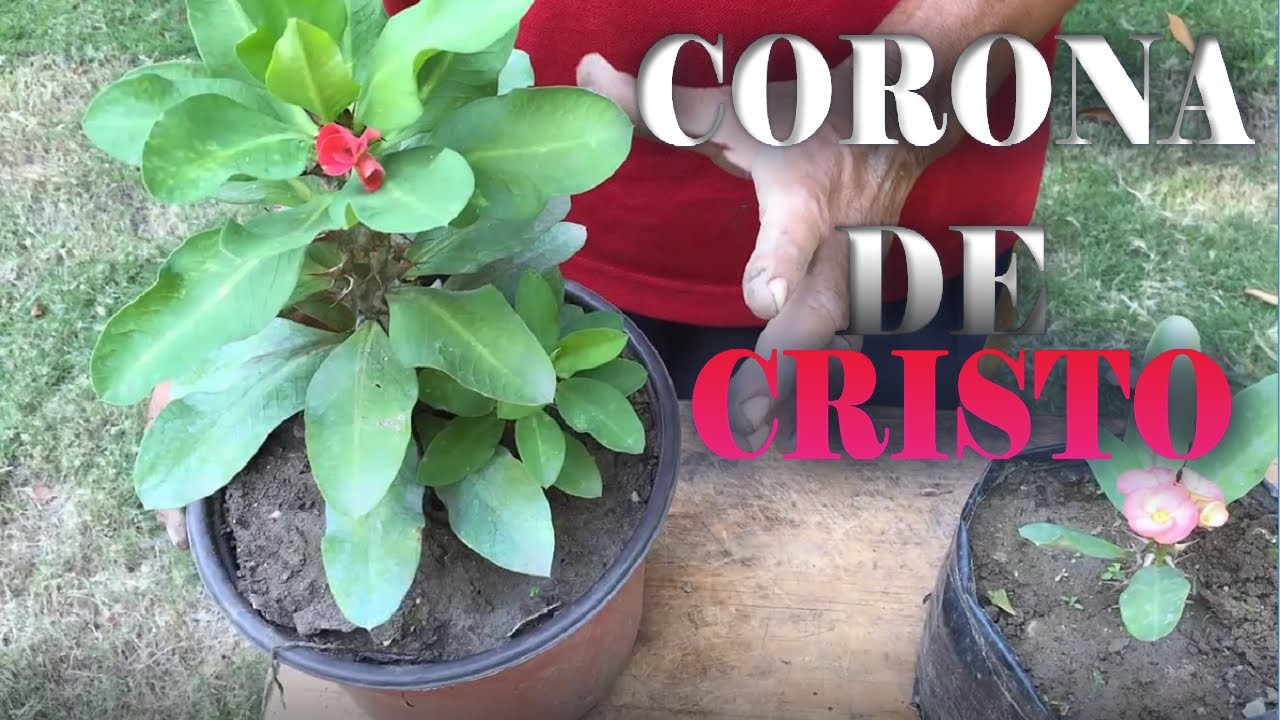 Corona de cristo planta reproduccion asexual de las plantas
