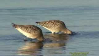 MYRSPOV  Bar-tailed Godwit  (Limosa lapponica)  Klipp - 1247