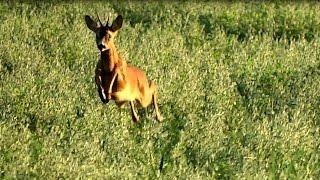 подманивание косули на манок(подманивание манком самца косули во время гона., 2016-08-31T22:23:05.000Z)
