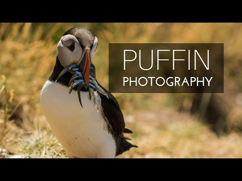 Photographing Puffins On Farne Island | Wildlife Photography