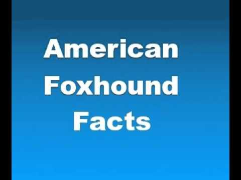 American Foxhound Facts - Facts About American Foxhounds