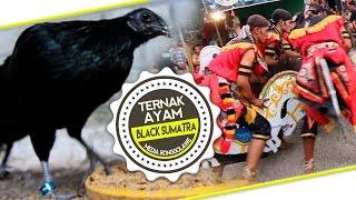 Kisah Sukses : Dwi Susanto Peternak Ayam Black Sumatra Dan Pawang Kuda Lumping