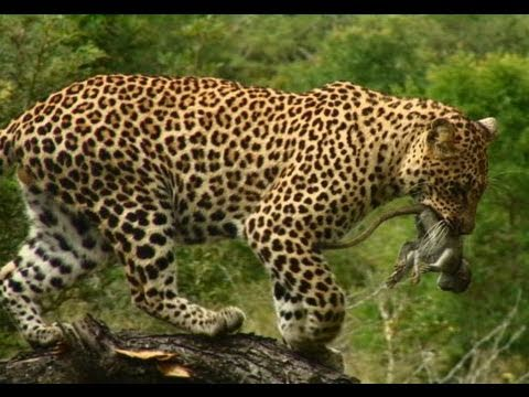 Induna The Male Leopard Catches A Baby Monkey In This