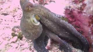 Осьминог, спрут (Octopus)