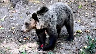 Jesienią u niedźwiedzi