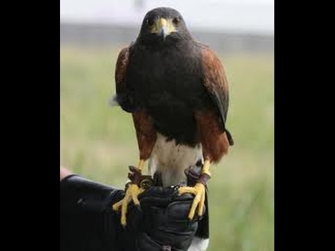 How to train a harris hawk| the first step