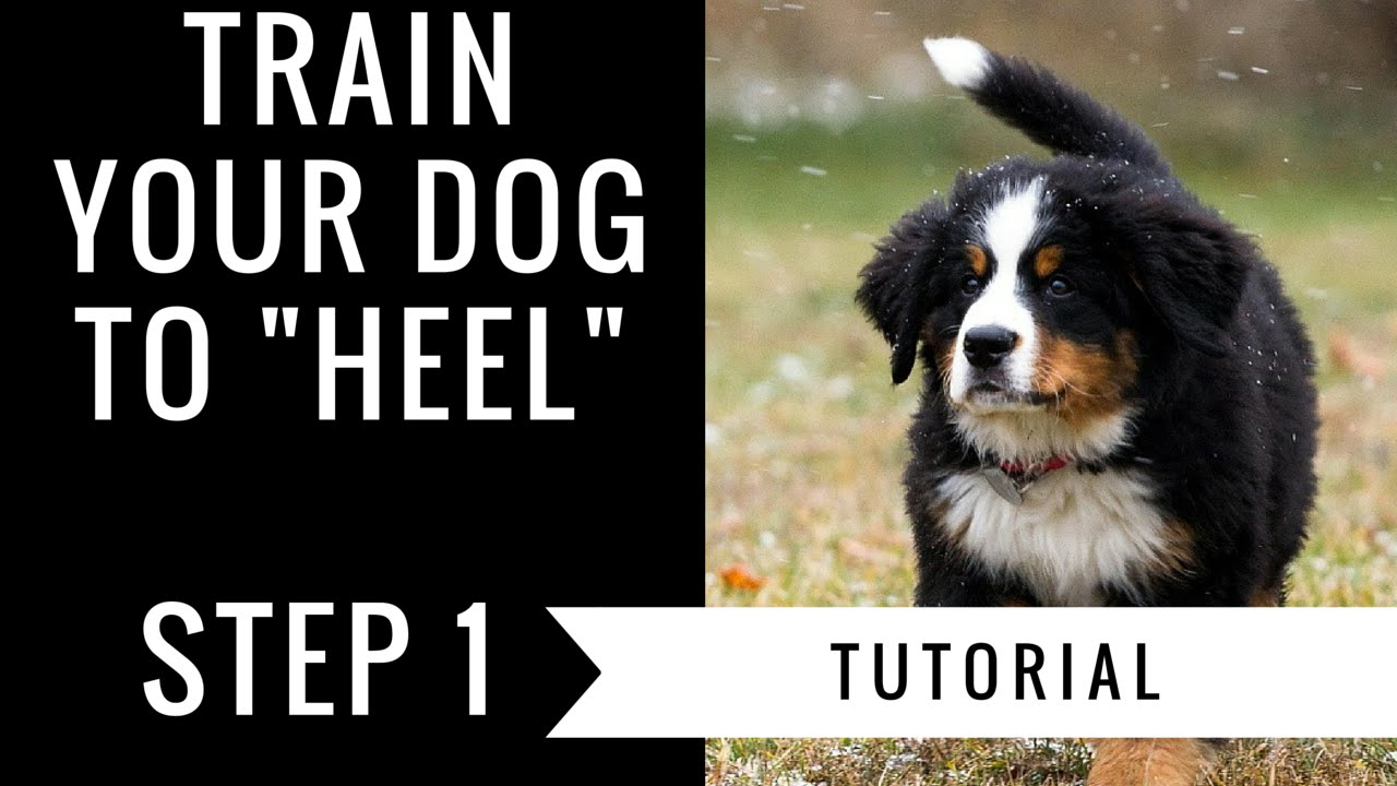 How To Train Your Dog To Heel: Step 1 Tutorial - YouTube | How To Train A Dog To Heel