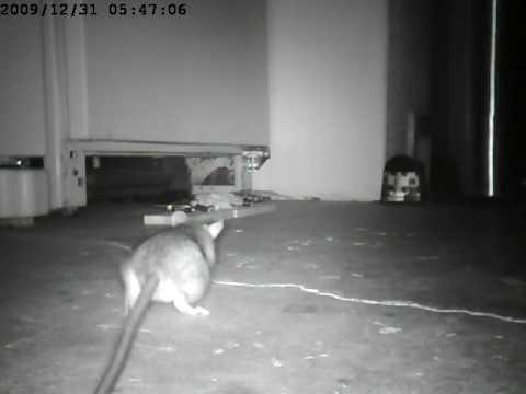 rat in the garage youtube