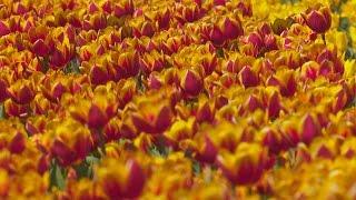 Омск утопает. В цветах(В то время, как Иртыш и Омь, выйдя из берегов, наводняют Омск в прямом смысле слова, омская мэрия заходит..., 2016-05-16T09:18:58.000Z)
