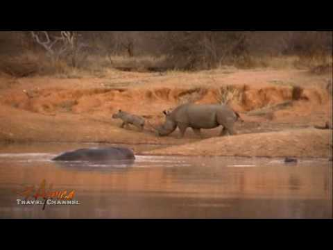 Baby Rhino meets Hippo Kruger National Park