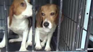 Summer Of Freedom - 38 Beagles Rescued!