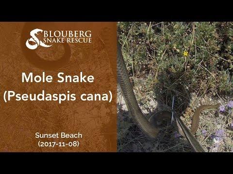 Mole Snake near Sunset Beach, Cape Town, South Africa (20171108)