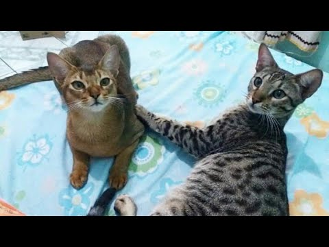 Abyssinian Cat gets facial cleaning by her brother | Cats Cute Videos
