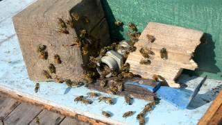 Как экстренно защитить от нападение пчёл воровок на нуклеус.