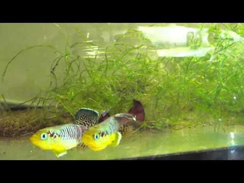Nothobranchius Guentheri: Amazing Killifish!!