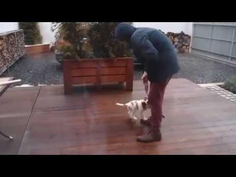 Abbie playing outside 9 weeks puppy Brittany dog/Epagneul breton/Bretaňský ohař