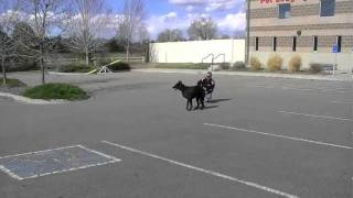 """A Veterinarian Gets Her Dog Trained.  """"live""""  (part 2)"""