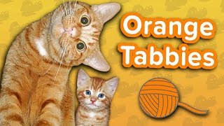 Orange Tabbies are Awesome! // Funny Animal Compilation