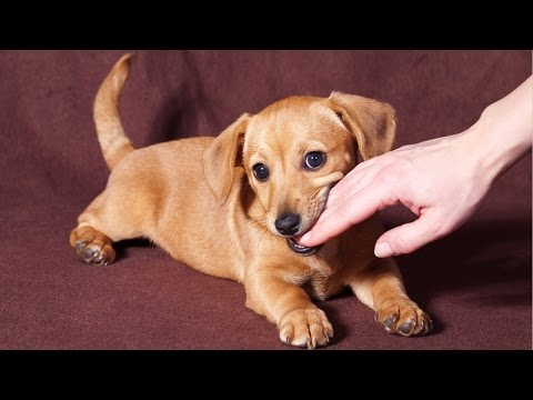 How To Stop a Puppy From Biting Easily