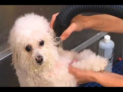 How to groom a Bichon Frise | Best Dog Grooming Tips