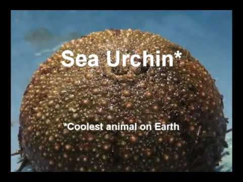 Sea Urchin Dissection - YouTube