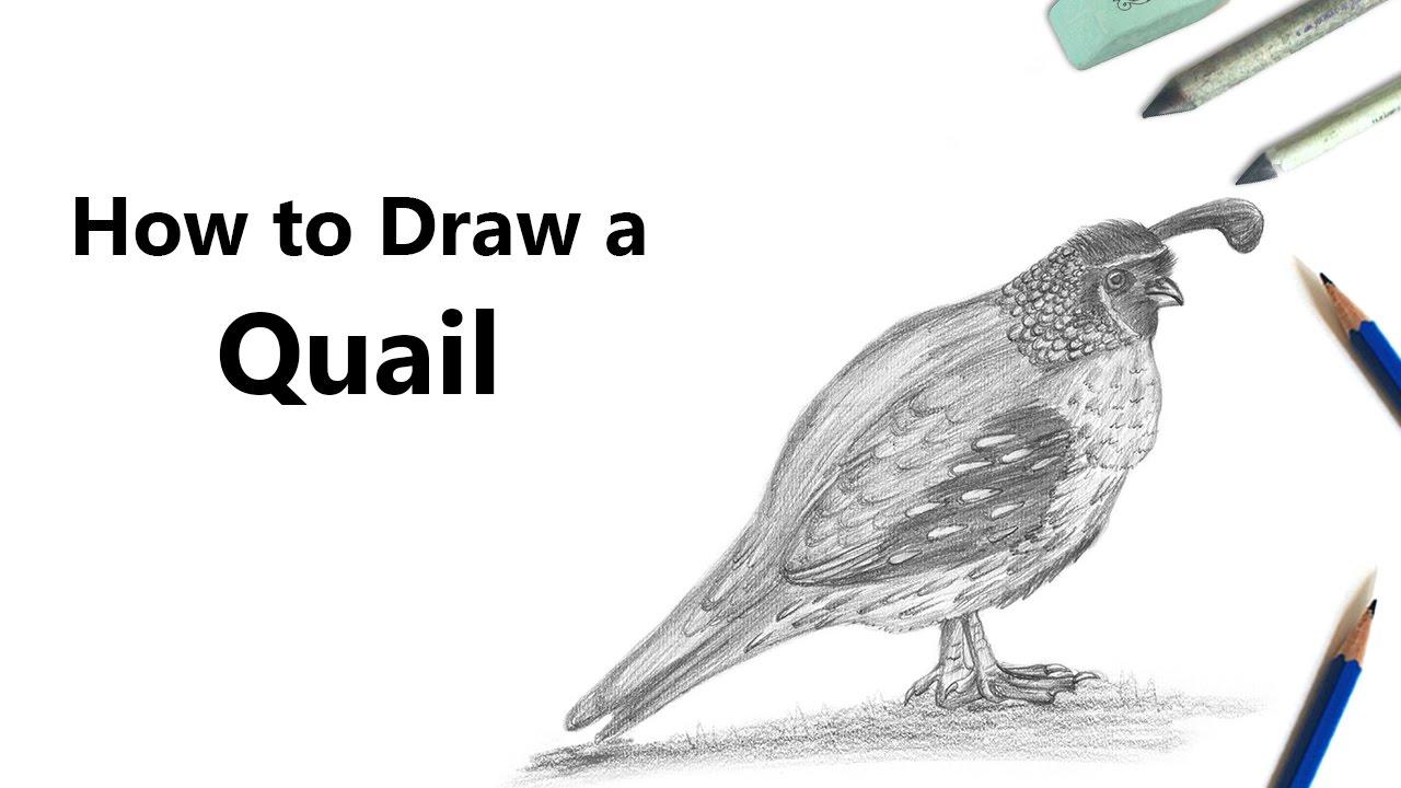 Quail Pencil Drawing  How To Sketch Quail Using Pencils :  Drawingtutorials101